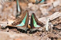 Gemeenschappelijke bromvliegvlinder Stock Fotografie