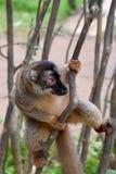 Gemeenschappelijke bruine maki, Madagascar stock foto