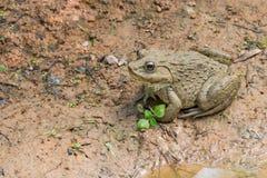 Gemeenschappelijke bruine Thaise kikker in landbouwbedrijf Stock Afbeelding