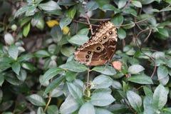 Gemeenschappelijke Buckeye-Vlinder Stock Afbeelding