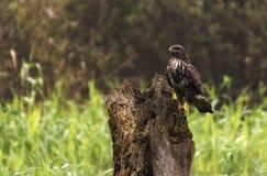 Gemeenschappelijke buizerd die zich op een houten boomstam op een grasgebied bevinden royalty-vrije stock fotografie