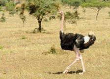 Gemeenschappelijke camelusmassaicus van Struthio van de Struisvogel Royalty-vrije Stock Afbeeldingen