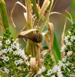 Gemeenschappelijke chiffchaff op rietstelen en echiumbloemen Stock Fotografie