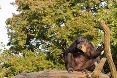 Gemeenschappelijke chimpansee Stock Afbeeldingen