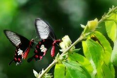 gemeenschappelijke conventionele buttefly Royalty-vrije Stock Afbeeldingen