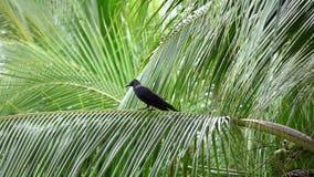Gemeenschappelijke corvus corax zitting van de raafvogel op palm stock footage