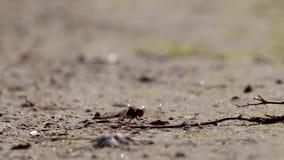 Gemeenschappelijke darterlibel, Sympetrum-striolatum, die op grint tijdens een zonnige dag in augustus rusten stock footage