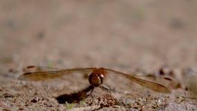 Gemeenschappelijke darterlibel, Sympetrum-striolatum, die op grint tijdens een zonnige dag in augustus rusten stock video