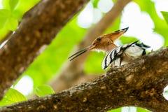 Gemeenschappelijke die Hoopoe, Upupa epops, vogel, op boomtak wordt neergestreken Stock Foto's