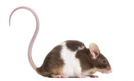 Gemeenschappelijke die huismuis, Mus-musculus, op whi wordt geïsoleerd Stock Foto's
