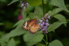 Gemeenschappelijke die Lacewing-Vlinder op een Bloem wordt gesteld royalty-vrije stock foto's