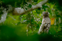 Gemeenschappelijke die Potoo, Nyctibius-griseus, op een toppositie, in Asa Wright Nature Centre, Trinidad, de Antillen wordt geno Royalty-vrije Stock Fotografie