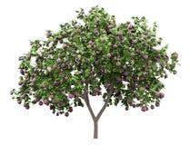 Gemeenschappelijke die vijgeboom met fig. op wit worden geïsoleerd stock illustratie