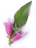 Gemeenschappelijke digitalis (purpurea van het Vingerhoedskruid) Royalty-vrije Stock Fotografie