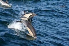 Gemeenschappelijke dolfijnen Royalty-vrije Stock Afbeeldingen