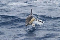 Gemeenschappelijke doplhin die in de oceaan springen Stock Foto's