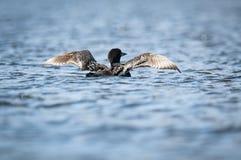 Gemeenschappelijke Duiker die zijn vleugels uitrekken aan de oppervlakte van een meer royalty-vrije stock afbeeldingen
