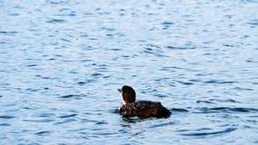 Gemeenschappelijke Duiker, gavia immer, Minneaota-de vogel die van de staat op een meer zwemmen stock video