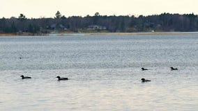 Gemeenschappelijke Duiker, gavia immer, Minneaota-de vogel van de staat stock video