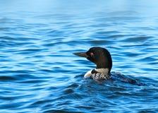 Gemeenschappelijke duiker of grote noordelijke duiker - gavia immer stock foto's