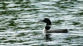 Gemeenschappelijke duiker of grote noordelijke duiker - Gavia immer - de vogel van de staat van Minnesota stock video