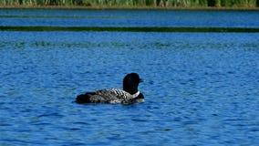 Gemeenschappelijke duiker of grote noordelijke duiker - Gavia immer - de vogel van de staat van Minnesota stock videobeelden