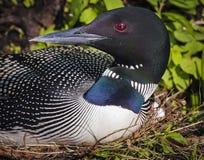 Gemeenschappelijke Duiker op nest Gavia immer royalty-vrije stock afbeelding