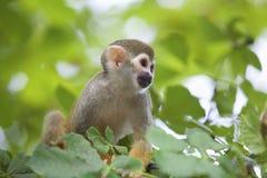 Gemeenschappelijke eekhoornaap Stock Foto's