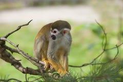 Gemeenschappelijke eekhoornaap Stock Fotografie