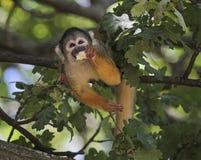 Gemeenschappelijke eekhoornaap, Saimiri-sciureus Stock Foto's