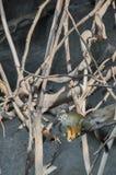 Gemeenschappelijke eekhoornapen (Saimiri-sciureus) stock afbeelding