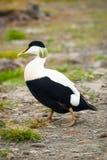 Gemeenschappelijke eidereendvogel Stock Afbeelding