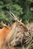 Gemeenschappelijke elandantilope Royalty-vrije Stock Fotografie