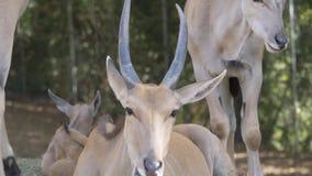 Gemeenschappelijke elandantilope dichte omhooggaand stock footage