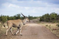 Gemeenschappelijke elandantilope in het Nationale park van Kruger, Zuid-Afrika; stock foto