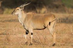 Gemeenschappelijke Elandantilope & x28; Tragelaphus oryx& x29; royalty-vrije stock fotografie