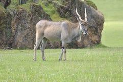 Gemeenschappelijke elandantilope & x28; Taurotragus oryx& x29; Stock Afbeeldingen