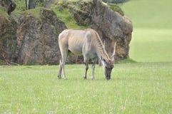 Gemeenschappelijke elandantilope & x28; Taurotragus oryx& x29; Royalty-vrije Stock Fotografie