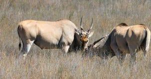 Gemeenschappelijke elandantilopen die zich op een weide 4k bevinden stock video