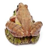 Gemeenschappelijke Europese esculenta kikker of Eetbare Kikker, Rana, en een Moor Kikker, Rana-arvalis stock afbeeldingen