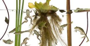 Gemeenschappelijke Europese kikker of Eetbare Kikker, Rana esculenta in water met installaties en insecten Stock Fotografie
