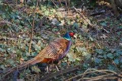 Gemeenschappelijke fazant die door een vergankelijk bos lopen stock foto