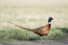 Gemeenschappelijke fazant, phasianuscolchicus stock foto