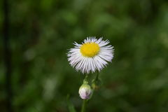 Gemeenschappelijke fleabane wildflower bloei en knop stock afbeelding