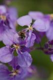 Gemeenschappelijke fruitvlieg Royalty-vrije Stock Foto's