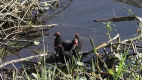 Gemeenschappelijke Gallinule-kuikens in moerasland stock footage