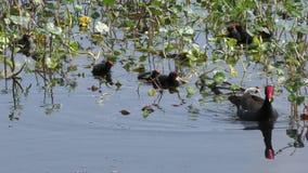 Gemeenschappelijke Gallinule met de kuikens stock videobeelden