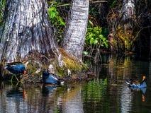Gemeenschappelijke Gallinules in een cipresmoeras stock fotografie