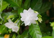 Gemeenschappelijke gardenia stock afbeelding
