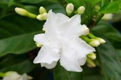 Gemeenschappelijke gardenia royalty-vrije stock foto's